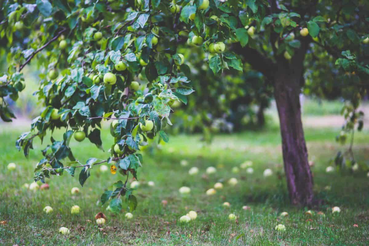 Vente d'arbre fruitier